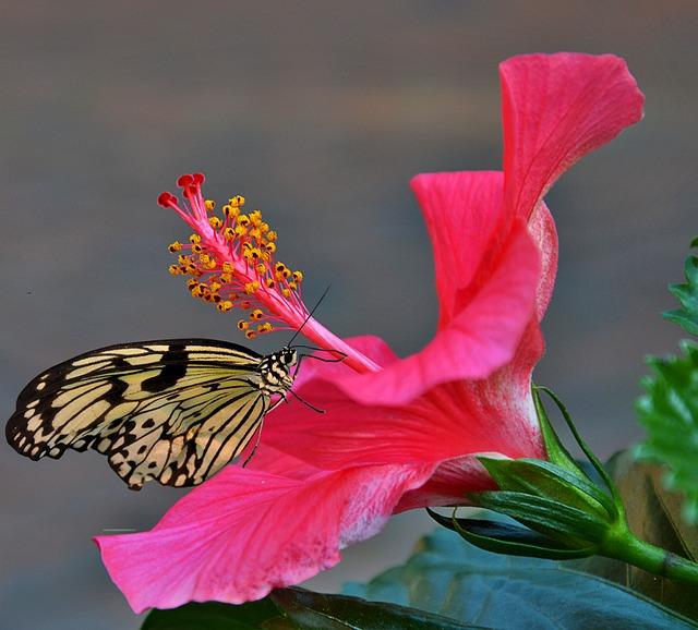 hibiscus-flower-2381420_640