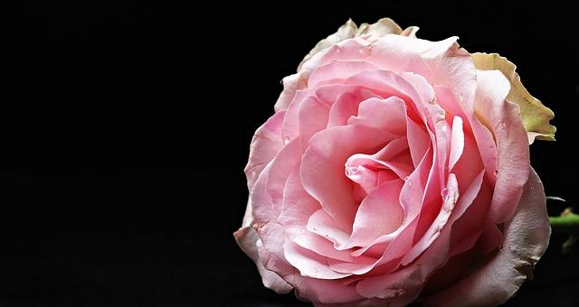 rose-2503523_640