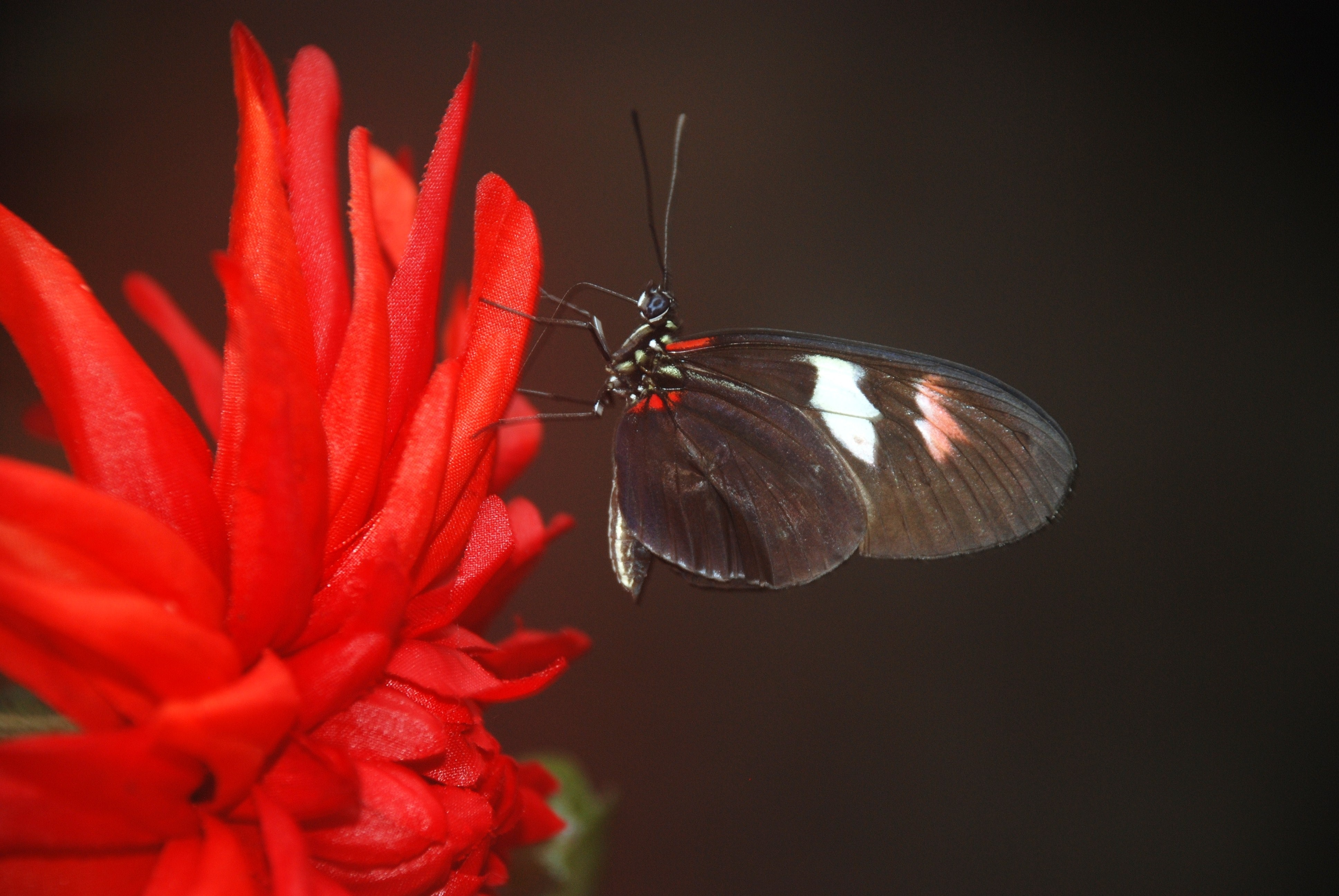butterfly-close-up-flower-87842