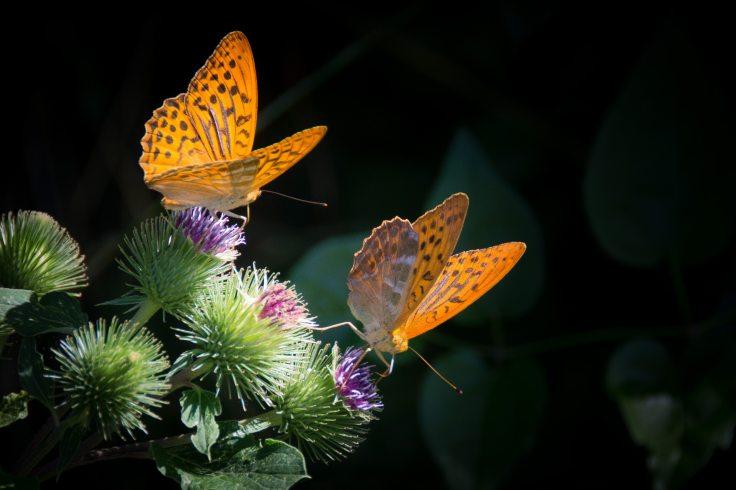 butterflies-close-up-details-33073 (1)