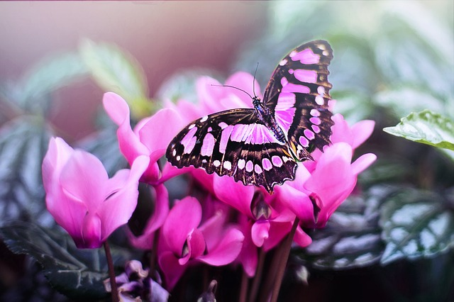 pink-butterfly-1281428_640